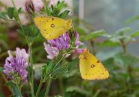 vyliahnuté motýle - výsledok úspešného chovu