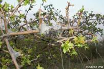 Eriogaster catax - primárne hniezo