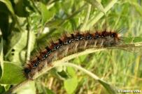 Eriogaster catax - dospelá húsenica