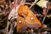 Eriogaster catax - samec