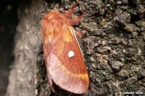 Eriogaster catax - samica