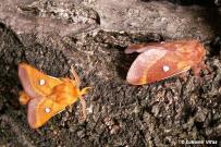 Eriogaster catax - samec a samica