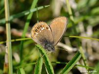 samec očkáňa hnedého (Coenonympha hero)