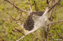Eriogaster lanestris - primárne hniezdo