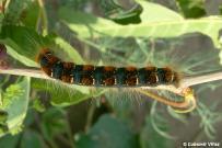 Eriogaster lanestris - dospelá húsenica