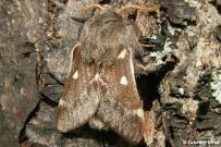 Eriogaster lanestris - samec
