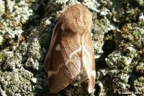 Eriogaster lanestris - samica
