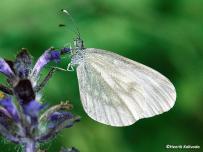 samec mlynárika východného (Leptidea morsei)