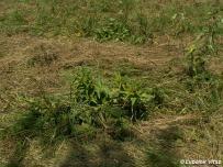detail aplikovaného manažmentu – pri kosbe zámerne obídené trsy Gentiana cruciata, živnej rastliny Maculinea rebeli
