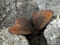 samica (Rumunsko)