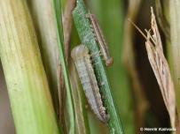 húsenice 2. a 3. instaru (Záhorie)