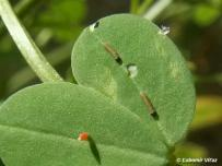 húsenice 1. instar (Považie)