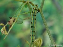 húsenica 5. instar (Považie)