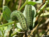 zimujúce larvy (Považie)