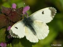 samica (Podunajsko)