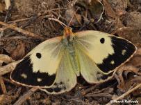 samica, forma helicina (Podunajsko)