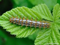 húsenica 5. instar (Považský Inovec)