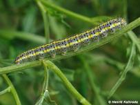 húsenica 5. instar (Podunajsko)