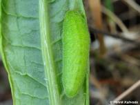 húsenica 5. instar (Malé Karpaty)