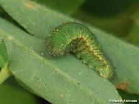 zimujúca larva 3. instaru (Záhorie)