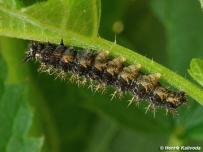 húsenica 5. instar (Záhorie)