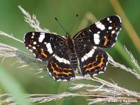 samica, forma prorsa (Považský Inovec)