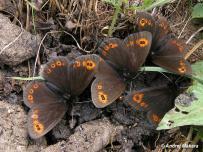 motýle hodujúce na výkaloch (Slovenský kras)