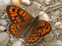 samec (Podunajsko)
