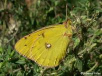 samica na živnej rastline (Biele Karpaty)