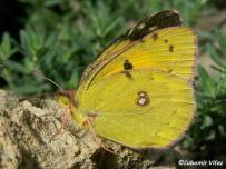 samica (Biele Karpaty)