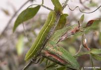 húsenica 5. instar (Biele Karpaty)