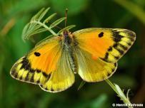 samica (Maďarsko)
