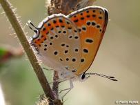 samica (Bulharsko)
